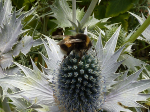 Bombus lucorum - White-Tailed Bumble Bee
