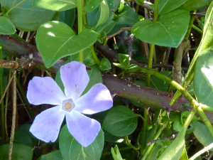 Vinca major - Greater Periwinkle