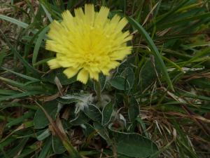 Pilosella officinarum - Mouse-ear Hawkweed
