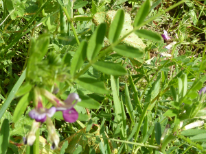 Vicia sativa - Common Vetch