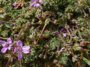 Erodium cicutarium - Common Storksbill
