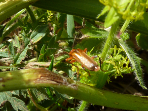 Cantharis livida - Common Red Soldier Beetle