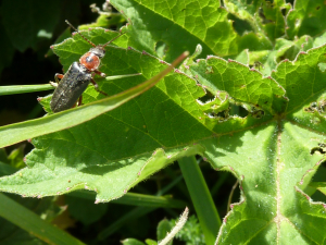 Cantharis rustica - Black Soldier Beetle
