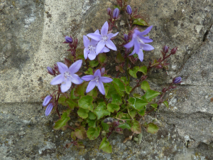 Campanula poscharskyana - Trailing Bellflower