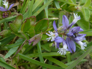 Polygala vulgaris - Common Milkwort