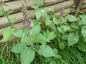 Stachys sylvatica - Hedge Woundwort
