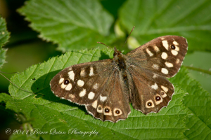 Speckled Wood Butterfly - Male