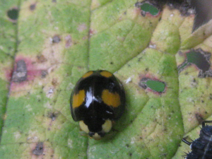 Black ladybird with four spots
