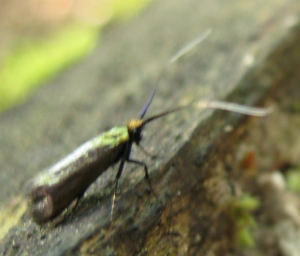 Shiny green/gold insect with long antennae