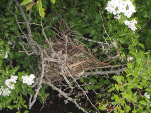 Is this a moorhen's nest?