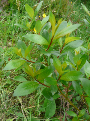 tea-leaved willow