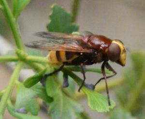 large fly