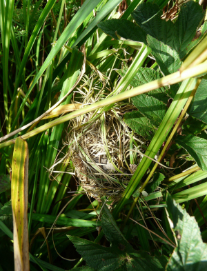possible harvest mouse nest