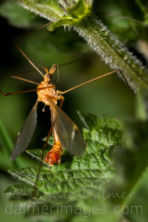 Crane-fly, but which?