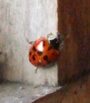 Ladybird - is it a Harlequin?