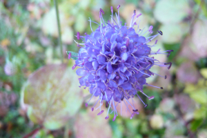 Scabious in Wood