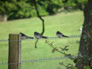 Young Birds on Fence