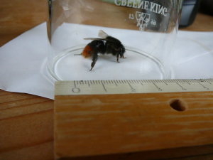Bumblebee caught in house
