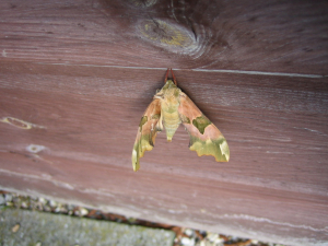 moth on garden shed