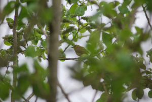 Possible Warbler