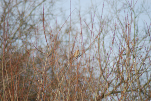 Possible Warbler again.