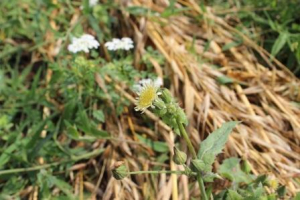 Sow Thistle?