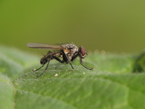 Fly at Portbury Wharf Nature Reserve