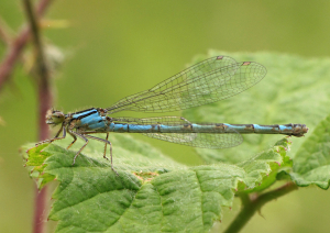 Damselfly at Portbury Wharf Nature Reserve
