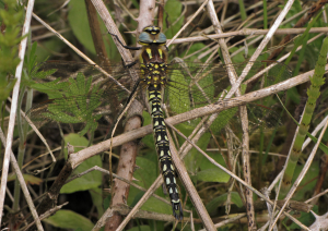 Dragonfly at Portbury Wharf Nature Reserve
