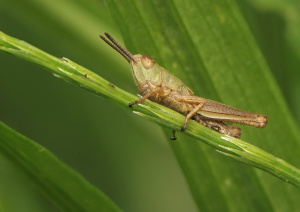 Grasshopper at Portbury Wharf Nature Reserve