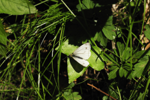 Green-veined White (female)