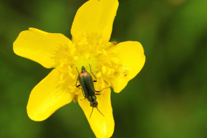 Soft-winged Flower beetle