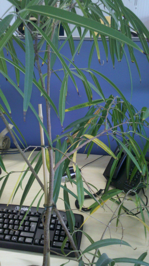 bamboo like office plant