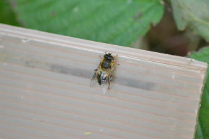 Unknown Hoverfly?