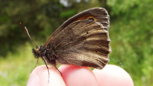 Meadow Brown?