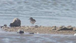 Unknown Wader?