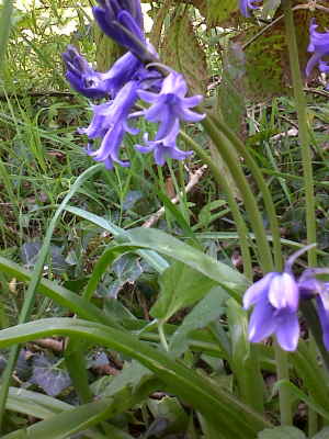 English Bluebell?