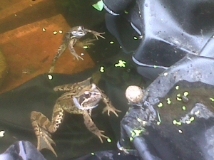 Common Frog vs Garden Snail