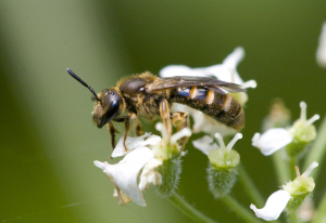 07 Solitary bee