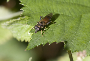 15 Hoverfly