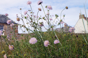 scabious 030811