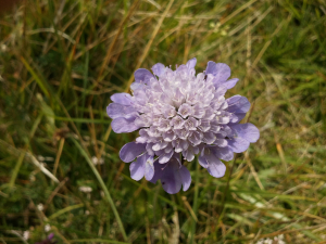 Which Scabious ?