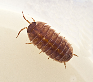 Orange Woodlice3