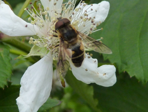 Hoverfly help please.