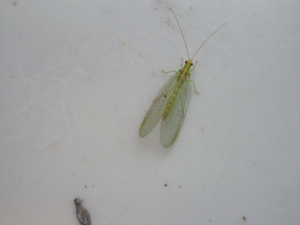 Green Lacewing (Chrysopa pallens) - Darley