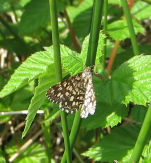 Unknown Day Flying Moth?