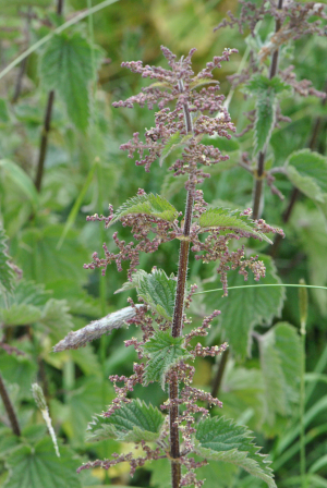 common nettle CLARE