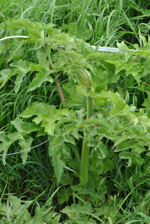 hogweed CLARE0122