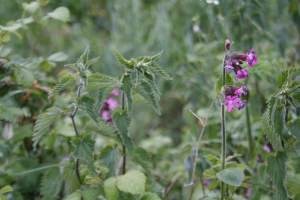 Red Campion_MG_8125