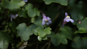 Ivy leaved toadflax DSC00129